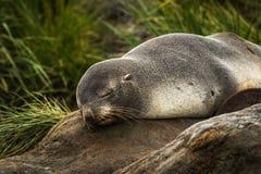 Guarnizione di pelliccia antartica che dorme nell'erba del ciuffo d'erba Fotografie Stock