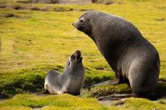 Guarnizione di pelliccia antartica con il giovane Pup Fotografie Stock Libere da Diritti