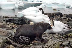Guarnizione di pelliccia davanti ai pinguini di gentoo su una spiaggia rocciosa in Antartide Fotografie Stock