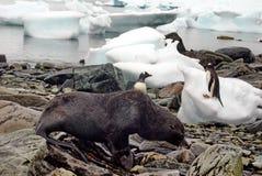 Guarnizione di pelliccia davanti ai pinguini di gentoo su una spiaggia rocciosa in Antartide Immagini Stock
