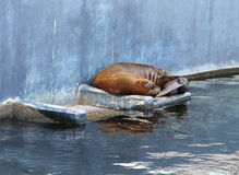 Guarnizione di pelliccia di Brown che dorme sulla roccia nel biopark di Valencia Fotografia Stock