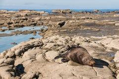 Guarnizione di pelliccia femminile che dorme sulle rocce Fotografia Stock