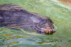 Guarnizione di pelliccia, leone marino Immagine Stock
