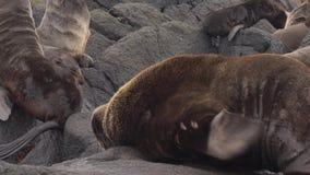 Guarnizione di pelliccia nordica archivi video