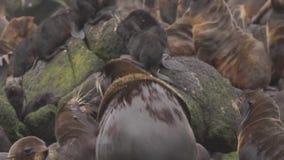 Guarnizione di pelliccia nordica video d archivio