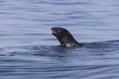 Guarnizione di pelliccia nordica che galleggia nell'acqua in oceano Pacifico Fotografia Stock
