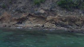 Guarnizione di pelliccia sulla costa su fondo di chiara acqua della Nuova Zelanda video d archivio