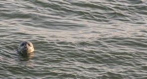 Guarnizione di porto che dà una occhiata alla sua testa dall'oceano Pacifico all'alba Immagine Stock