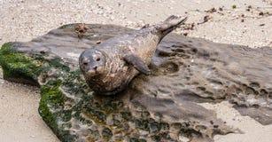 Guarnizione di porto che posa sulla spiaggia rocciosa a La Jolla, California Fotografie Stock