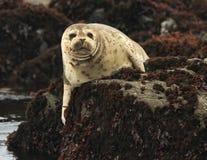 Guarnizione di porto della California sulla roccia, grande sur, California Fotografie Stock