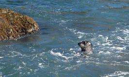 Guarnizione di porto pacifica all'isola in Laguna Beach, California del tesoro fotografie stock libere da diritti