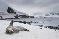 Guarnizione di sbadiglio con i pinguini, Antartide di Weddell Fotografia Stock