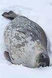 Guarnizione di Weddell che si trova nella neve su un'estate Immagini Stock