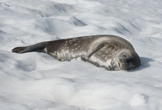 Guarnizione di Weddell che si trova su una coperta di neve. Fotografie Stock