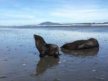 Guarnizione e cucciolo di foca fotografia stock libera da diritti