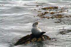 Guarnizione grigia sulla pietra durante la marea fotografie stock libere da diritti