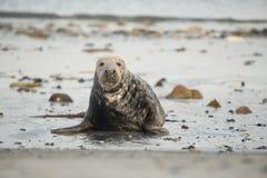 Guarnizione grigia veduta dal riposarsi anteriore alla spiaggia che esamina la macchina fotografica immagini stock