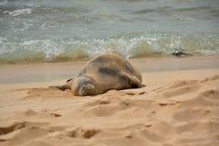 Guarnizione hawaiana del monaco sulla spiaggia di sabbia Fotografia Stock Libera da Diritti