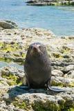 Guarnizione naturale sulla costa di mare Immagine Stock