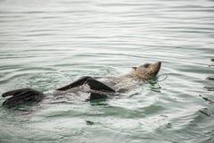 guarnizione nel mare Fotografia Stock Libera da Diritti