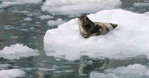 Guarnizione selvaggia dell'Alaska sul ghiaccio Fotografia Stock
