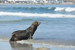 Guarnizione sulla spiaggia Fotografia Stock Libera da Diritti