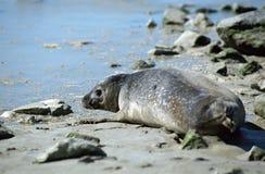 Guarnizione sulla spiaggia Immagini Stock Libere da Diritti