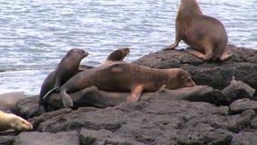 Guarnizione sulla spiaggia Galapagos video d archivio