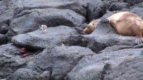 Guarnizione sulla spiaggia Galapagos stock footage