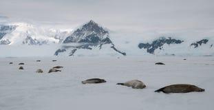 Guarnizioni adulte che si trovano sul rapido ghiaccio davanti alle montagne, penisola antartica fotografia stock libera da diritti
