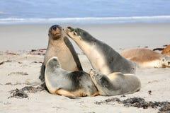 Guarnizioni all'Australia del sud dell'isola del canguro della baia della guarnizione Immagini Stock