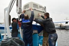 Guarnizioni anellate di Ladoga liberate zoologi dopo riabilitazione Immagini Stock Libere da Diritti