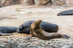 Guarnizioni che dormono sulla roccia nell'ambito della luce solare Immagine Stock Libera da Diritti