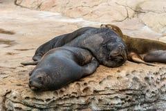 Guarnizioni che dormono sulla roccia nell'ambito della luce solare in un acquario Immagini Stock