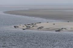 Guarnizioni che mettono su banco di sabbia nel mare di wadden Immagine Stock