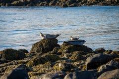 Guarnizioni che riposano in spiaggia del Tunga di Ytri Fotografia Stock