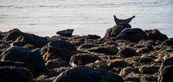 Guarnizioni che riposano in spiaggia del Tunga di Ytri Immagini Stock Libere da Diritti