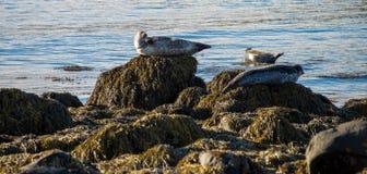 Guarnizioni che riposano in spiaggia del Tunga di Ytri Fotografie Stock Libere da Diritti