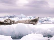 Guarnizioni che riposano su un iceberg immagine stock