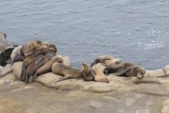Guarnizioni che riposano su una scogliera dell'oceano Fotografie Stock