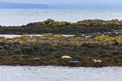 Guarnizioni che riposano sull'le rocce alla costa del fiordo Fotografie Stock