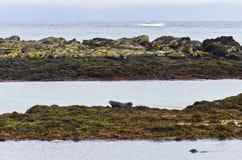 Guarnizioni che riposano sull'le rocce alla costa del fiordo Immagine Stock
