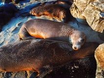 Guarnizioni che riposano sulla spiaggia Immagini Stock