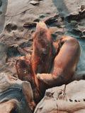 Guarnizioni che riposano sulla spiaggia Fotografia Stock Libera da Diritti