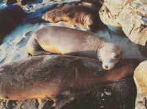Guarnizioni che riposano sulla spiaggia Fotografie Stock Libere da Diritti