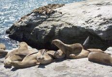 Guarnizioni che riposano sulle rocce della Santa Cruse Immagine Stock