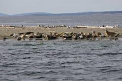 Guarnizioni con i loro pups sull'isola secondaria Fotografia Stock Libera da Diritti