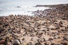 Guarnizioni dei leoni marini, Otariinae con i cuccioli fotografia stock