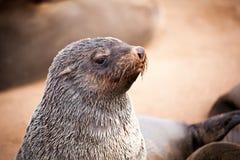 Guarnizioni dei leoni marini, Otariinae con i cuccioli immagine stock