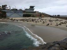 Guarnizioni della spiaggia della guarnizione di La Jolla Fotografie Stock Libere da Diritti